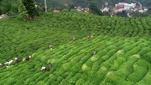 ÇAYKUR özel sektöre 16 bin ton kuru çay sattı