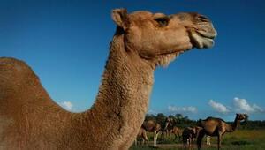 Avustralyada 5 bin yabani deve, kuraklık nedeniyle öldürüldü