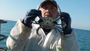 Karadenizde nadir görülen mavi yengeç ağlara takıldı