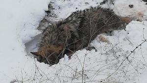 Bitkin ve yürüyemez halde bulunan kurt, tedavi altına alındı