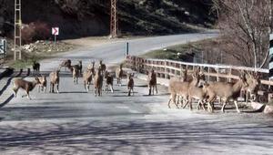Sürü halindeki yaban keçileri böyle görüntülendi