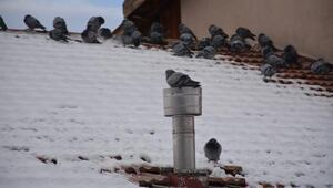 Üşüyen güvercinler doğal gaz bacasında ısındı