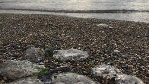 İzmit Körfezinde deniz anası istilası