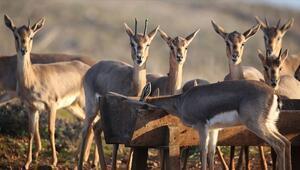 Gazella gazella türü dağ ceylanları Hatayda hızla çoğalıyor
