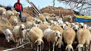 Kırşehirde 5 yılda 481 sertifikalı çoban yetiştirildi