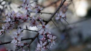 Fethiyede badem ağaçları çiçek açtı