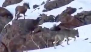 Erzincanda dağ keçisi ile kurt sürüsü yan yana görüntülendi