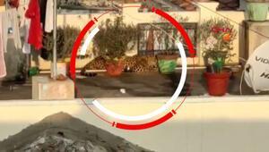 Çatıda uyuyan leopar paniğe neden oldu