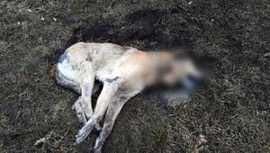 Ankarada 20 sokak hayvanı zehirlenerek öldürüldü