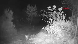 Eşine az rastlanan yaban kedisi Tokatta görüntülendi