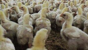 Çinde kuş gribi salgını nedeniyle 17 binden fazla kanatlı hayvan itlaf edildi