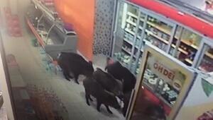 Yiyecek bulamayınca mahalleye inen domuzlar, markete girdi
