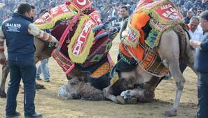 Torbalıda deve güreşlerini 30 bin kişi izledi