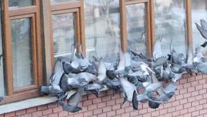 Güvercinler için yem bıraktılar