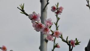 Şeftali ağaçlarının çiçek açması çiftçiyi korkuttu