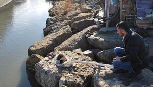 Zonguldakta bulunan su samuru yaşam alanına bırakıldı