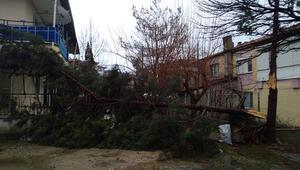 Selendide şiddetli rüzgar ağaçları devirdi