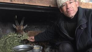 Zabıtanın yaralı bulduğu yaban keçisi korumaya alındı