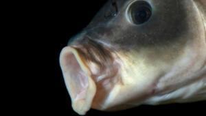 Görenleri şaşkına çeviren balık: 100 yıldan uzun bir süredir...