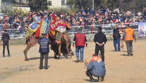 Nazillide deve güreşi heyecanı
