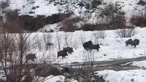 Aç kalan yabani domuzlar yerleşim alanına indi