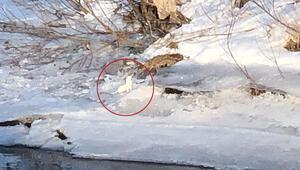 Beyaz gelincik Kars'ta görüntülendi