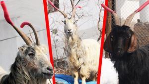 Keçilerinin boynuzuna hortum taktı Nedeni ise...