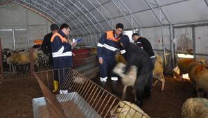 Destekleme yapılacak koyun ve keçiler belirleniyor