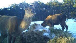 Türkmen Dağındaki kızıl geyikler fotokapanla görüntülendi