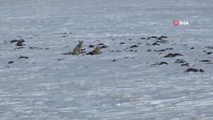 Karsta tilkilerin yiyecek arayışı kamerada