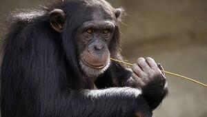 Rüyada maymun görmek ne anlama gelir Rüyada maymundan kaçtığını görmenin anlamı