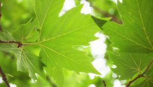 Çınar yaprağının faydaları nelerdir Çınar ağacı yaprağı nelere iyi gelir