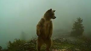 Kış uykusundan uyanan ayılar fotokapanla izlendi