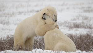 Korkutan gelişme: Kutup ayıları aç kalınca...