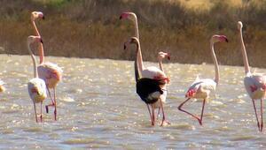 Siyah flamingo, Türkiyede 3 yıl sonra görüldü