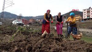 Karadenizli kadınlar koronavirüsten çalışarak korunuyor