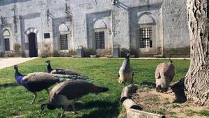 Yunan güvenlik güçlerinin gaz bombalarından etkilenen tavus kuşlarına koruma