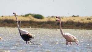 Siyah flamingo yeniden Türkiyede