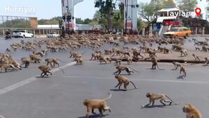 Taylandda koronavirüs yüzünden boşalan sokakları maymunlar bastı