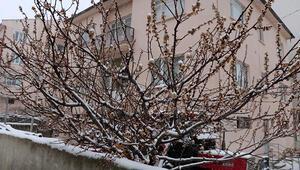 Çiçek açan meyve ağaçlarında kar güzelliği