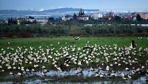 Göç yolcusu leylekler Doğu Akdenizde mola verdi