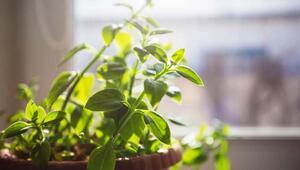 Evde bitki yetiştirirken nelere dikkat edilmeli