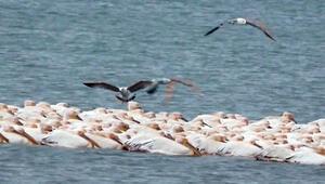 Pelikanlar Mersinde göç molası verdi