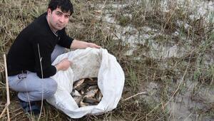Baraj gölünde kıyıya vuran balıkları çuvallarla topladılar