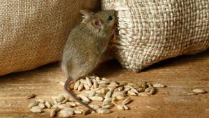 Hanta virüsü farelerden mi bulaşıyor Hanta virüsü bulaşıcı mı ve belirtileri neler