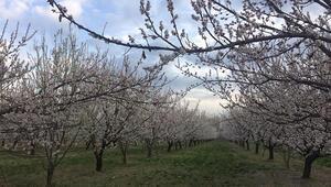 Iğdırda, kayısı ağaçları çiçek açtı