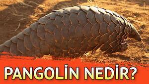 Corona Virüsü Pangolin hayvanından mı çıktı.. Pangolin nedir