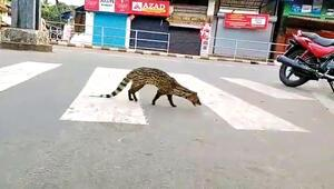 Misk kedisi sokağa indi