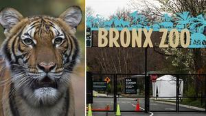 Son dakika haberi: ABDde hayvanat bahçesindeki kaplanda koronavirüs çıktı