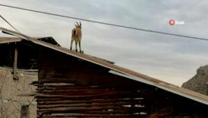 Vatandaşlar evde kaldı, yaban keçileri çatıya kadar çıktı